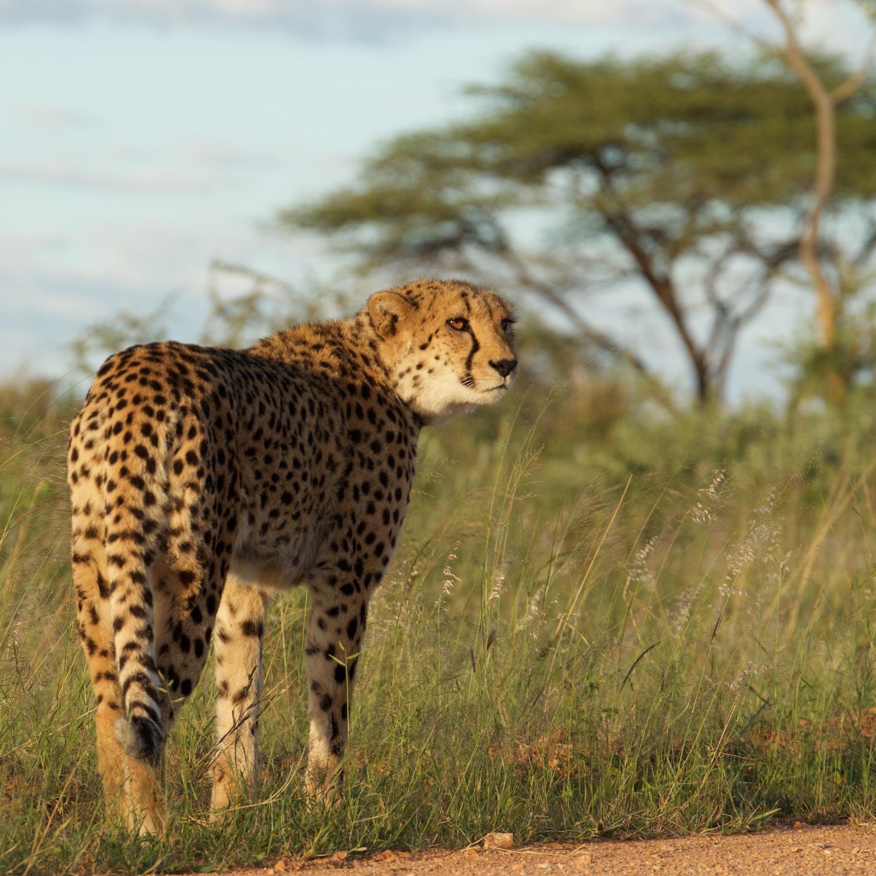 Okonjima cheetah reserve